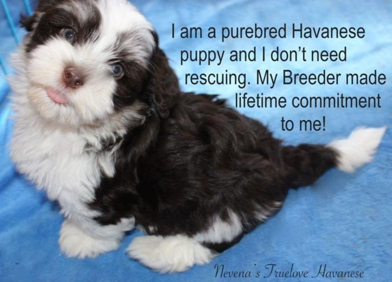 Chocolate Havanese puppy, Chocolate Havanese puppy for sale